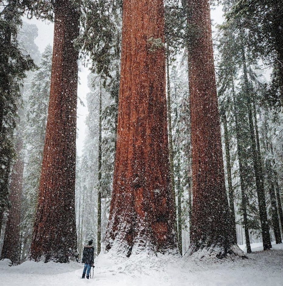 Sequoia National Park camping - trees in the snow