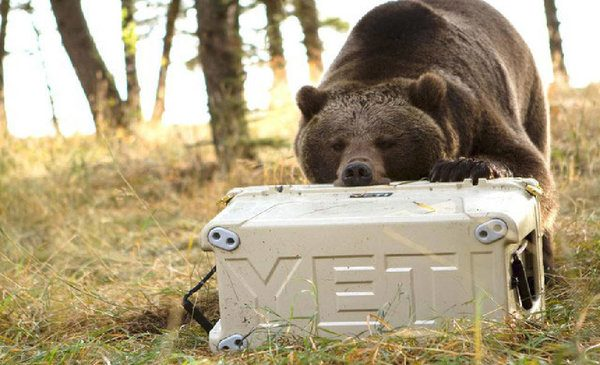 Bear trying to get into a camping cooler